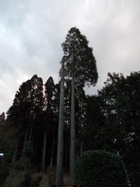 君津市 杉の伐採