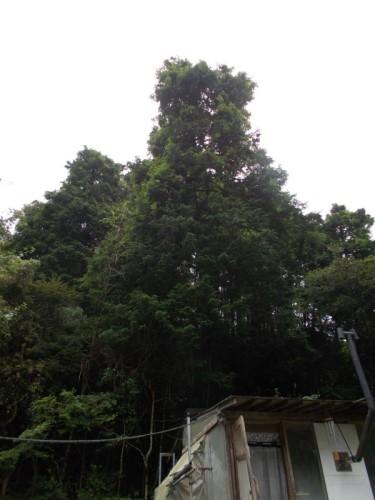 ヒノキ 特殊伐採