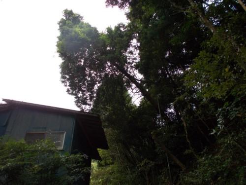 檜 特殊伐採