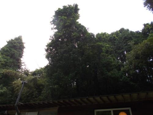 檜 危険木